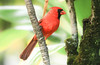 Northern Cardinal (lauren_larsenn) Tags: northerncardinal male laurenlarsen wildlifephotography bird wild wildlife photography northern cardinal hawaii maui roadtohana road hana lauren larsen