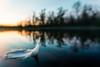 Leggero (Sinisa78) Tags: bernate lanca ticino barca fiume cigno swan tramonto sunset piuma