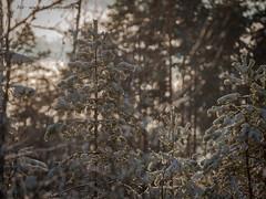 20171119003801 (koppomcolors) Tags: koppomcolors forest winter skog snö snow