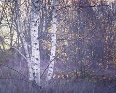 Purple and Gold (gerainte1) Tags: trees autumn colour birch