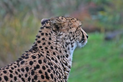 IMG_0837 (jaybluejeans94) Tags: nature zoo chester chesterzoo cat cats jaguar panther animal animals bigcat