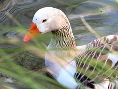 Geese pond (thomasgorman1) Tags: goose geese pond domain park public garden canon auckland newzealand