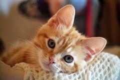Spritz (En memoria de Zarpazos, mi valiente y mimoso tigre) Tags: kittenorange gingercat spritz miciorosso gatitonaranja pelirrojo gatto gato gatito kitten cat kitty micio katze chat neko ginger orangetabbymiciorossospritz spritzeddu chatonroux