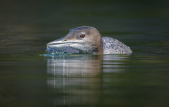 Common Loon at NIne Weeks (sfdonald) Tags: commonloon gaviaimmer plongeonhuard quebec loon loonchick nineweeks colimbogrande