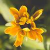Opening Rudbeckia (oandrews) Tags: autumn autumnshades canon canon70d canonuk flora flower garden nature outdoors petals plant plants rudbeckia rudbeckiahirta