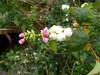 Pink and white (Lexie's Mum) Tags: continuing30dayswild walking walks walkingthedog nature wildlife scenery floraandfauna snowberries
