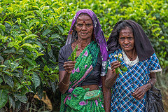 Tea Leaf Pickers, Rothschild Tea Estate, Sri Lanka (bfryxell) Tags: pussellawa rothschildteaestate srilanka teaflower tealeaf tealeafpicker teaplant teaplantation worker