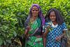 Tea Leaf Pickers, Rothschild Tea Estate, Sri Lanka (bfryxell) Tags: pussellawa rothschildteaestate srilanka teaflower tealeaf tealeafpicker teaplant teaplantation worker