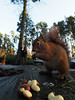M2238786 E-M1ii 7mm iso200 f4.5 1_160s S-AF (Mel Stephens) Tags: 20171123 201711 2017 q4 carnie woods aberdeenshire scotland uk olympus omd em1ii ii m43 microfourthirds mirrorless mzuiko 714mm pro oishare wireless remote animal animals squirrel squirrels wildlife nature people me selfie best red mft fauna november very
