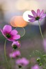 Cosmos (Vincent_Ting) Tags: cosmos 波斯菊 散景 bokeh cosmosfield