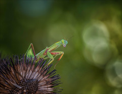 Tuesday Afternoon (Kathy Macpherson Baca) Tags: animal animals insects insect earth wildlife predator green australian mantis invertebrate pray prey prayingmantis tropical macro nature planet world preserve entomology bokeh hunt carnivore