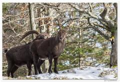 Les deux amis. (C. OTTIE et J-Y KERMORVANT) Tags: nature animaux mammifères bouquetins bouquetinsdesalpes capraibex montagnes suisse