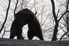 IMG_2368 (neatnessdotcom) Tags: new york city nyc bronx zoo tamron 18270mm f3563 di ii vc pzd canon eos rebel t2i 550d bears