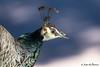 Peacock portrait (JOAO DE BARROS) Tags: joão barros bird peacock portrait