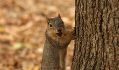 Squirrel, Cantigny Park. 51 (EOS) (Mega-Magpie) Tags: canon eos 60d nature wildlife outdoors cute tree squirrel cantigny park wheaton dupage il illinois usa america nut