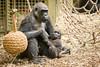 2017-11-04-10h32m27.BL7R1196 (A.J. Haverkamp) Tags: canonef100400mmf4556lisiiusmlens shae shindy amsterdam noordholland netherlands zoo dierentuin httpwwwartisnl artis thenetherlands gorilla sindy pobrotterdamthenetherlands dob03061985 pobamsterdamthenetherlands dob21012016 nl