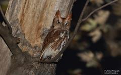 Eastern Screech Owl (salmoteb@rogers.com) Tags: bird wild outdoor owl nature wildlife eastern screech