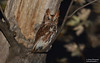 Eastern Screech Owl (salmoteb@rogers.com) Tags: bird wild outdoor owl nature wildlife eastern screech