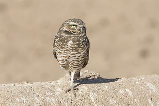 _31A4962 Burrowing Owl