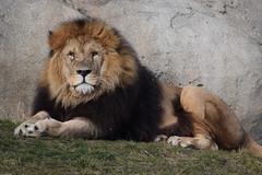 Dudley @ Wildlands Adventure Zoo Emmen 18-02-2017 (Maxime de Boer) Tags: dudley african lion afrikaanse leeuw panthera leo big cats katachtigen wildlands adventure zoo emmen animals dieren dierentuin dierenpark gods creation schepping