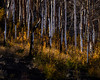 Aspen Grove Regrowth (Jeffrey Sullivan) Tags: aspen fall colors mono basin eastern sierra trees forest leevining california united states usa landscape nature astrophotography travel night photography canon eos 6d photo copyright 2017 jeff sullivan october astronomy tree