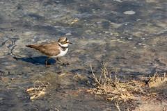 Petit Gravelot (CCphoto12) Tags: bassindarcachon leteich oiseau petitgravelot