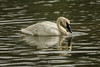 Shake a head feather (ChicagoBob46) Tags: trumpeterswan swan bird yellowstone yellowstonenationalpark nature wildlife river coth5 ngc npc