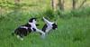 Brawl (JLM62380) Tags: cats brawl fight bagarre garden chats combat animals