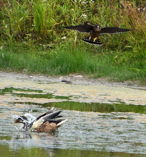 Merlin and Mallard at the pond