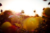 Last moment (thethomsn) Tags: 50mm backlight beauty blossom dof flare floral flower flowers goldenhour macro nature outdoors plants sunset thethomsn