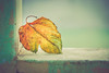 fall leaves remind us to live & dance on windy day (Ayeshadows) Tags: crisp winter fall autumn windy day changing colours leaf house wall goodbye green blushing