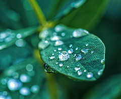 Emerald Droplets (Silke Klimesch) Tags: 7dwf fridaysflora bokeh dof leaf leaves droplets nervure naturesjewels green emerald nature flora macro closeup blatt tropfen blattadern schärfentiefe grün smaragdgrün nahaufmahme hoja gota verde naturaleza folha natureza frunză picătură foglio goccia feuille goutte vert φύλλο σταγόνα πράσινοσ лист капли зелёный 叶子 滴 绿