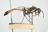 Ammophila heydeni Dahlbom, 1845 (Biological Museum, Lund University: Entomology) Tags: hymenoptera sphecidae dahlbom ammophila heydeni mzlutype05741 taxonomy:binomial=ammophilaheydeni