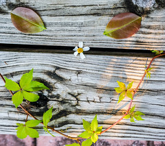 Sonrisa natural (risaclics) Tags: selfmade smiley smile sunday 50mm18macro 7dw leaves nikond610 november2017 flora selfmadesmiley smileonsunday