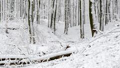 the White trees (Pieter ( PPoot )) Tags: sneeuw bomen stammen bos