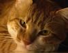 Poil de carotte (Catherine Reznitchenko) Tags: chat cat 猫 katze yeux eyes gatto gato 貓 animal nature