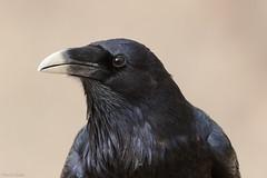 Raven (kevinclarke1969) Tags: raven corvid