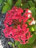 Ixora (soniaadammurray - Off) Tags: iphone flowers leaves plant nature sunlight shadows reflections macro quintaflower