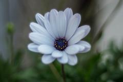Daisy (stefanonikon1) Tags: fiore olympus omdem10 nikkoraf5018 macro