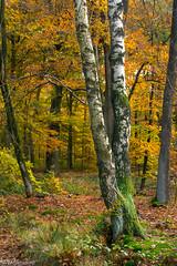 Delicious autumn (Wil Molenkamp) Tags: warnsborn herfst molenkamp autumn arnhem