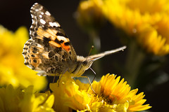 sipping gin and juice (Michael Kenan) Tags: arizona az usa road trip butterfly yellow insect pollen