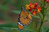Danaus chrysippus - the Plain Tiger (male) (BugsAlive) Tags: butterfly mariposa papillon farfalla schmetterling бабочка conbướm ผีเสื้อ animal outdoor insects insect lepidoptera macro nature nymphalidae danauschrysippus plaintiger danainae wildlife doisutheppuinp chiangmai liveinsects thailand thailandbutterflies หรือหนอนใบรักธรรมดา เชียงใหม่