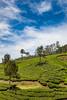 Munnar, India (Ðariusz) Tags: anamazingjourneyinthesouthofindia exploringthewonderfulteaplantations india tea amazing phtoos photos photographer teas drink easy cheap