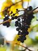 Jesienne Impresje (arjuna_zbycho) Tags: herbst jesień autumn autunno jesen kwiaty blimen flower winogrona uhudler weintrauben