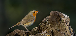 Robin sitting on a tree stump.
