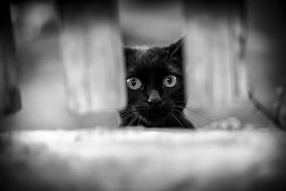 Fence cat