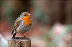 Rouge-gorge-Erithacus rubecula (nicéphor) Tags: wildlife rougegorge oiseaux eos7d tamron150600 birds nature faune robin erithacus rubecula