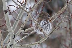 IMG_9247-27.jpg (David A Mitchell) Tags: wildlife northernpygmyowl birds owls