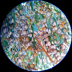 monarch butterfly butterflies danausplexippus... (Photo: Viejito on Flickr)
