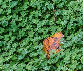 Autumn Clover.